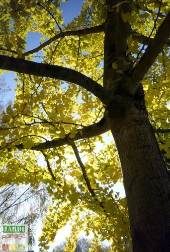 Ginkgo biloba jaune