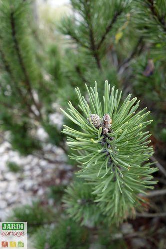 conifere pousse lente