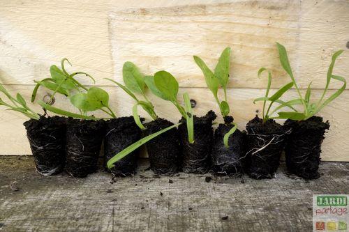 semis des epinards en plaque