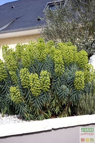 euphorbe characias wulfenii