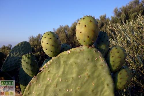 Cactus raquette entretien
