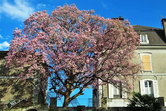 planter un magnolia au jardin
