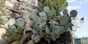 cactus-raquette-opuntia