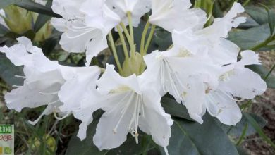 Photo of Comment planter un rhododendron ?