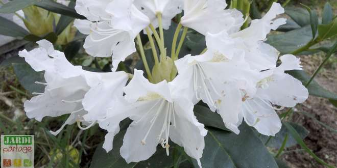 planter rhododendron