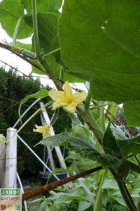 faire pousser concombre verticalement