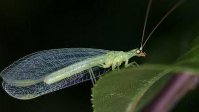 Photo of Les larves de chrysopes, précieux insectes auxiliaires