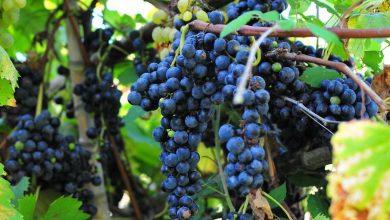 Des vignes naturellement résistantes aux maladies