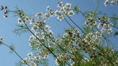 coriandre récolte des graines