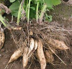 Photo of Un légume méconnu: la poire de terre ou yacon