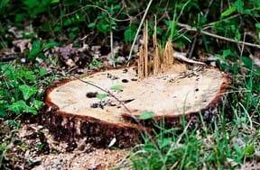 Détruire rapidement une souche d'arbre