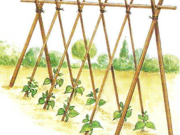 Les haricots à rames