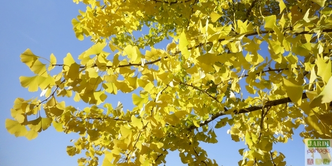 Photo of Le Ginkgo biloba s'illumine en automne