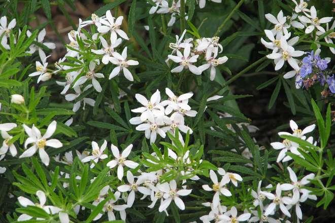 choisya white dazzler