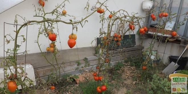faire murir tomates vertes