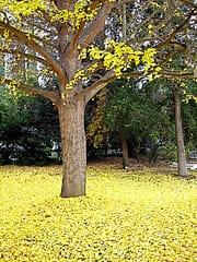 Gingko biloba en automne