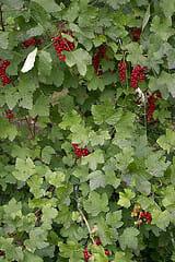 planter groseillier
