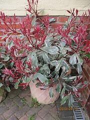 arbuste photinia pink marble