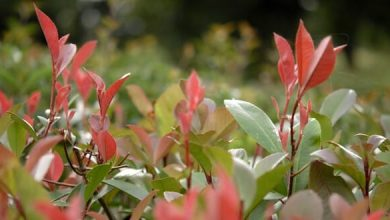 Photo of La plantation du Photinia, un arbuste pour haie lumineuse !