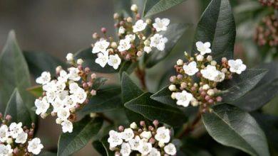 Photo de Viburnum tinus: le laurier-tin, pour un hiver fleuri !