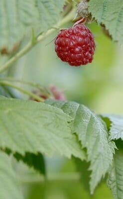 petits fruits daniel duret