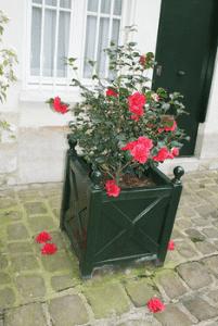 Camélia rose bac