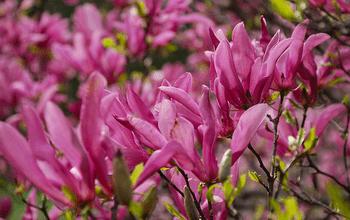 Photo de Des variétés de magnolias adaptées aux petits jardins
