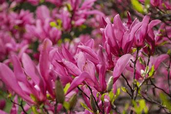 magnolia liliflora susan