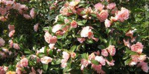 Planter un camélia rose