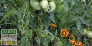 association de plantes au potager