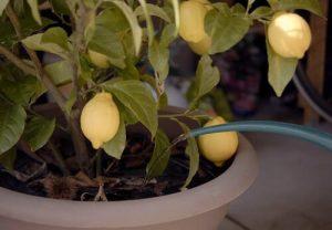 entretien citronnier printemps