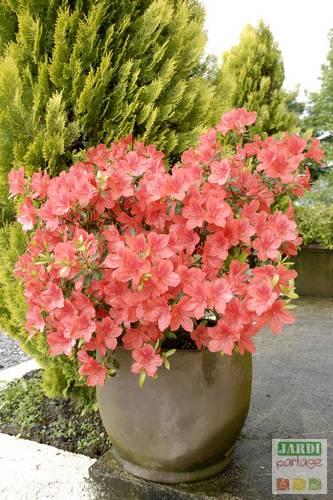 planter azalee japonaise en pot