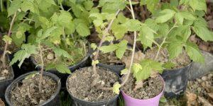 replanter rejets de framboisiers