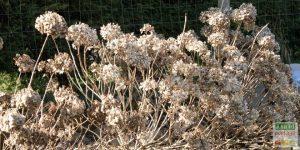 tailler les hortensias mars