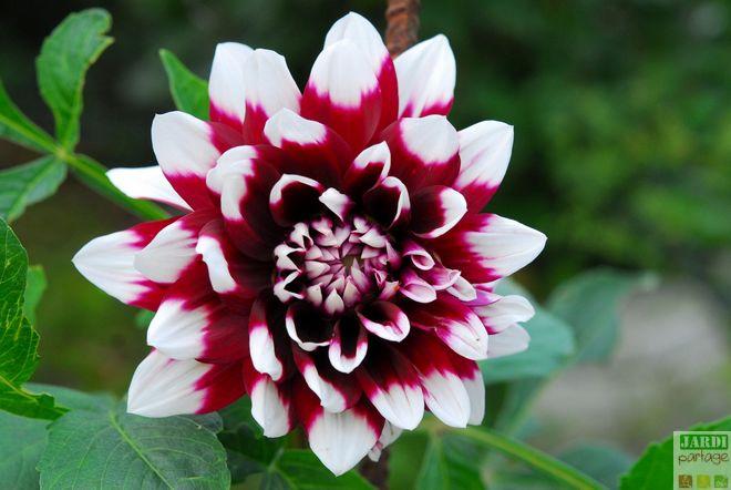 dahlia floraison