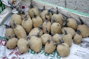 germer les pommes de terre