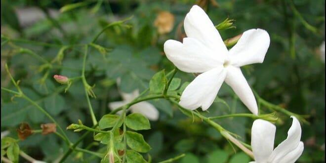 plantation jasmin