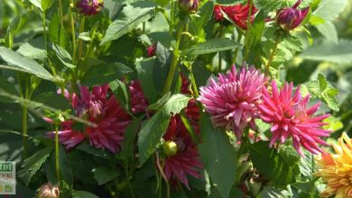 Photo of La plantation des dahlias