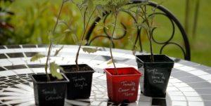 variétés tomates originales