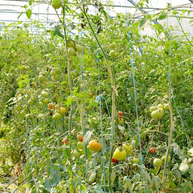 Tuteur tomate avec ficelle