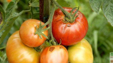 Photo of 8 bons conseils pour réussir les tomates !