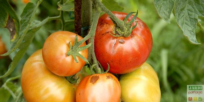 bons conseils tomates