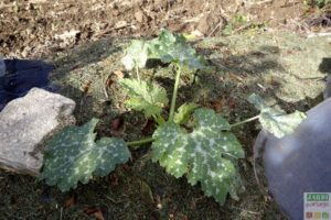 courgettes astuces