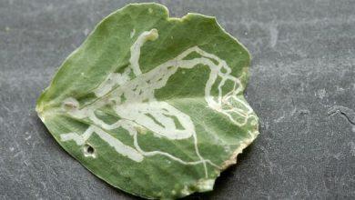 Photo of Une mineuse sur les feuilles des pois