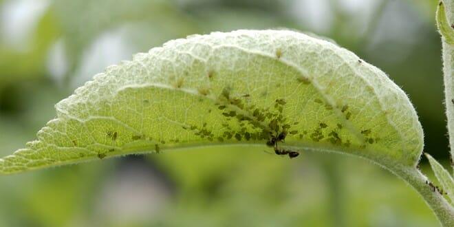 traiter les pucerons sur pommiers