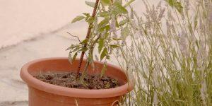 culture de tomate en pot