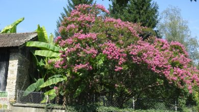 Photo of Le Lagerstromia assure le spectacle !