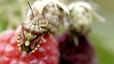 Photo of Ces petites bêtes… mangent nos framboises !