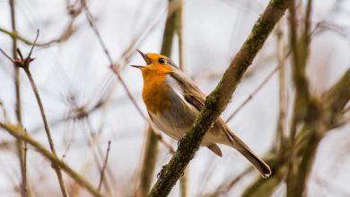 chant oiseaux des jardins