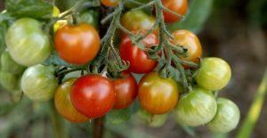 quand cueillir les tomates cerises